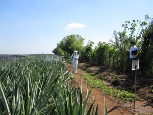 Syntech Research, Colombia, pineapple trials