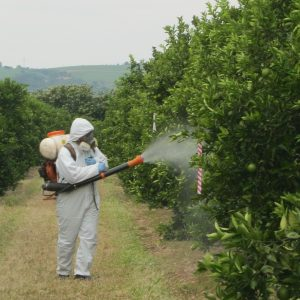 Spraying citrus trees for whitefly