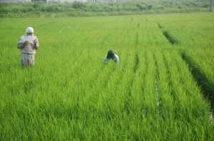 Syntech Research, Japan, field trials on rice