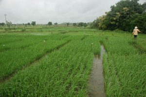 Syntech Research, India, rice trials