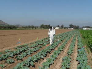 Cauliflower trial, Chile