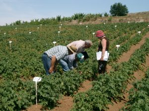 Colorado potato beetle trial