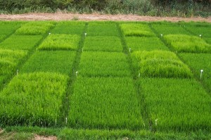 Rice herbicide trials