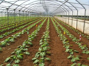 Zucchini seed variety trial, Italy