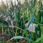 Self-pollination in GM cron trial