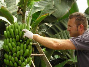 Vicente Corts - banana sampling