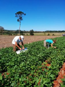 Assessing soybean trials for Helicoverpa sps in Argentina
