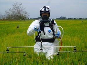 Spraying rice