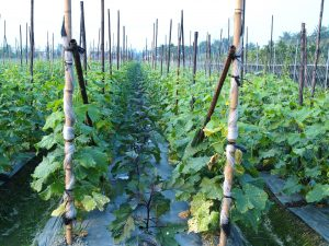 Syntech Research, Taiwan, cucumber trials