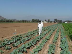 Cauliflower trial, Chile