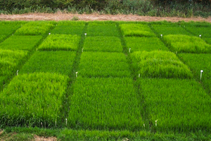 Rice herbicide trials, Portugal