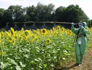 Spraying sunflowers by Thomas Bouly, SynTech France