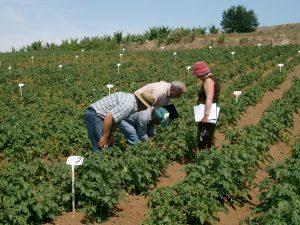 Colorado potato beetle trial