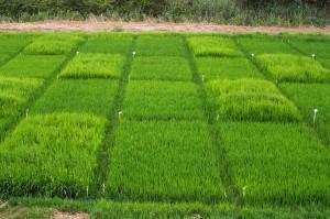 Rice herbicide trials