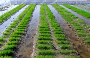 Rice Herbicide testing, Hainan