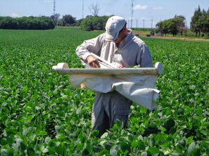 Assessing soybean trials for Helicoverpa sps in Paraguay