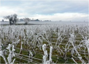 Vines in winter near SynTech Research France, by Eric Ythier