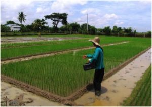 Applying fertiliser to a rice blast trial in the Philippines, by Salvador N. Ramos
