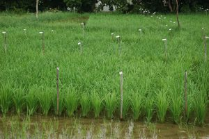 Paddy trial, India