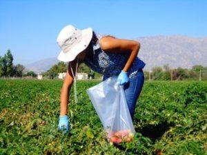 Tomato trial sampling – Argentina