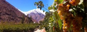 Vines in Mendoza