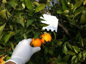 Ceratitis trap in citrus fruit