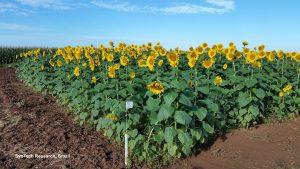 Sunflower trial in Brazil