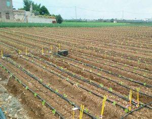 "Drip ""Fertigation"" Lettuce trial"