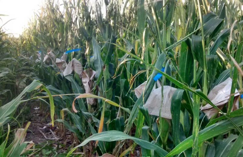SynTech Argentina completes record GMO trials program