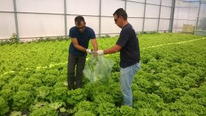 GLP Brassica trials Portugal