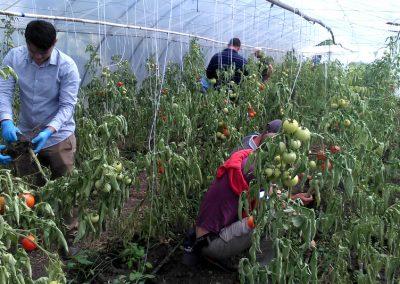 Tomato trial, Romania
