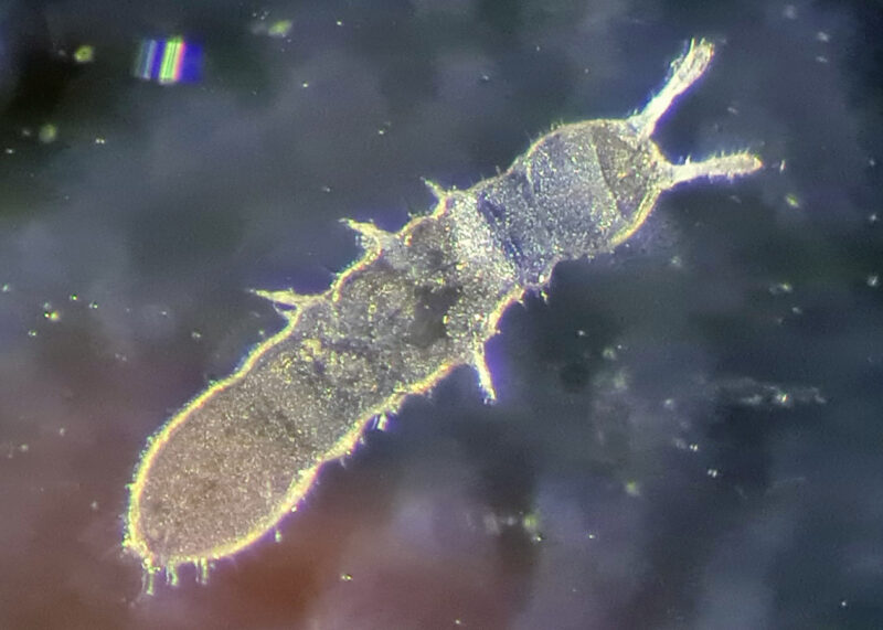 SynTech France in intensive period of soil micro arthropod assessments